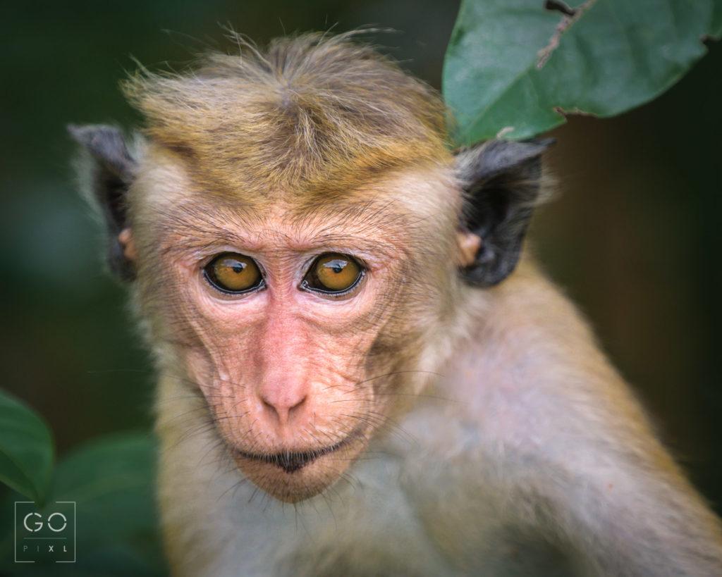 A sneaky little Sri Lankan Macaque
