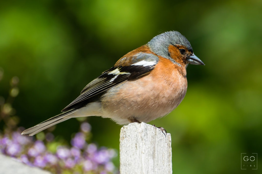 Little Chaffinch