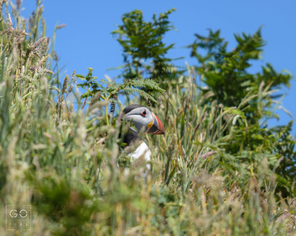 Puffin in the meadow
