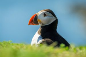Puffin looking out to Sea